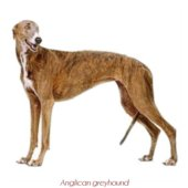 Anglican greyhound